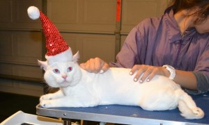Lex is a Short hair Domestic. He had his fur shaved down, nails clipped, ears cleaned and a full set of Glitter Blue Softpaw nail caps. — at Kylies Cat Grooming Services.