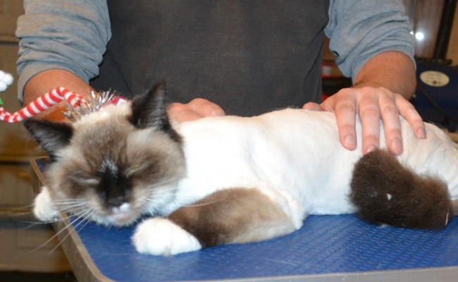 Maddy is a Ragdoll. She had her fur shaved down, nails clipped and ears cleaned. — at Kylies Cat Grooming Services.
