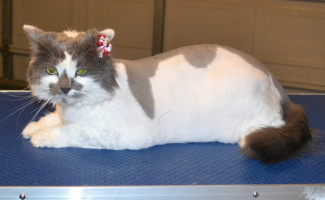 Yoshi is a Long hair Domestic. She had her matted for shaved off, nails clipped, ears cleaned and a wash n blow dry. — at Kylies Cat Grooming Services.