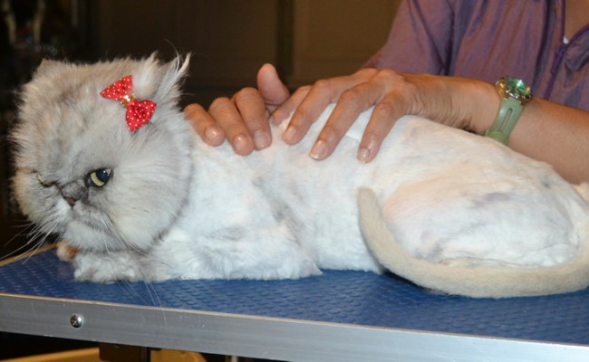 Chakra is a Chinchilla Persian. She had her fur shaved down, nails clipped and ears cleaned. — at Kylies Cat Grooming Services.