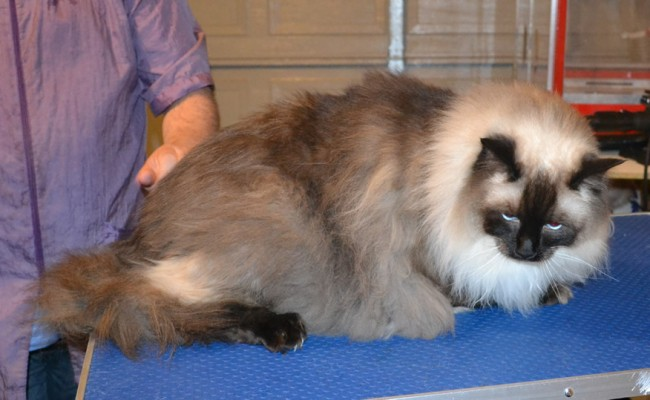 Leo is a Massive Ragdoll. He had his fur shaved down, and nails clipped. He was a crazy scary mean boy! — at Kylies Cat Grooming Services.