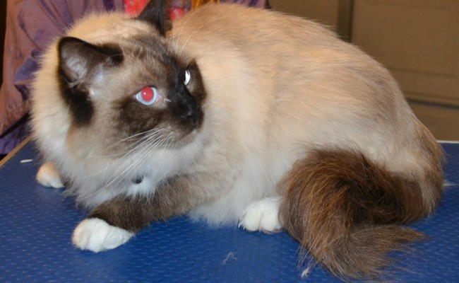 Charlie is a Ragdoll. He had his Fur shaved down, nails clipped and ears cleaned. — at Kylies Cat Grooming Services.