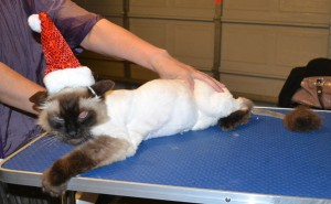Montgomery is a Ragdoll. He had his fur shaved down, nails clipped, ears cleaned and a wash n blow dry. — at Kylies Cat Grooming Services.
