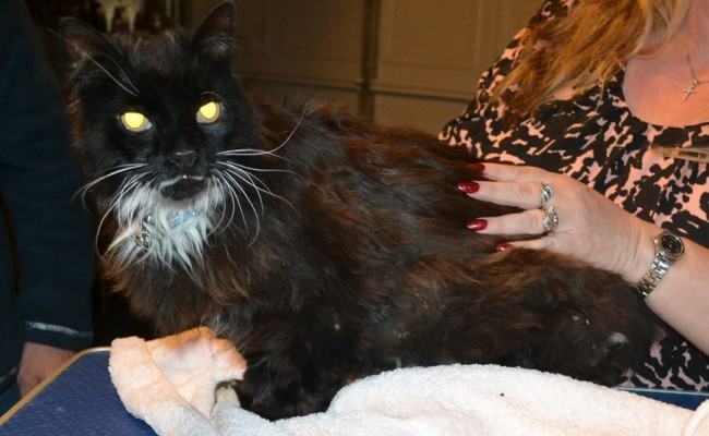 Big Meow is a 14 yr old Long Hair Domestic. He had his matted fur shaved down, nails clipped and ears cleaned. — at Kylies Cat Grooming Services.