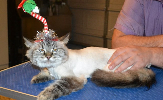 Pamuk is a Siberian. She had her fur shaved down, nails clipped, ears cleaned and a wash n blow dry. — at Kylies Cat Grooming Services.