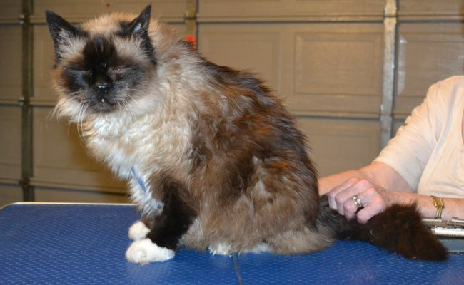 Snowy is a 18 yr old Burman. He had a comb clip, nails clipped and ears cleaned. — at Kylies Cat Grooming Services.