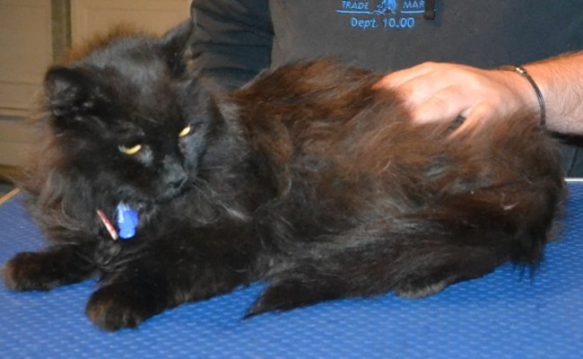 Black Betty is a 10 yr old Long Hair Domestic. She is a foster cat from Forever Friends Animal Rescue . She had her matted fur shaved down, nails clipped, ears cleaned and a wash n blow dry. — at Kylies Cat Grooming Services.