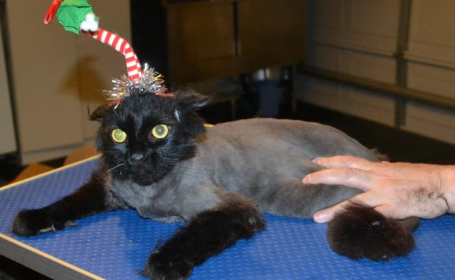 Angus is a Long Hair Scottish Fold. He had his fur shaved down, nails clipped, ears cleaned and a wash n blow dry. — at Kylies Cat Grooming Services.