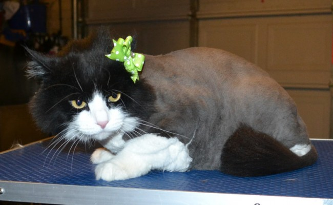 Ginx is a Long Hair Domestic. She had her fur shaved down, nails clipped and ears cleaned. — at Kylies Cat Grooming Services.
