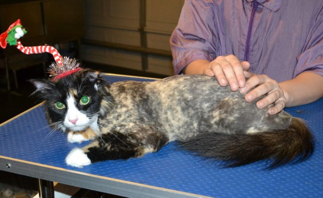 Slinky Malinky is a Long Hair Domestic. She had her fur shaved down, nails clipped, ears cleaned and a full set of Purple Softpaw nail caps. — at Kylies Cat Grooming Services.