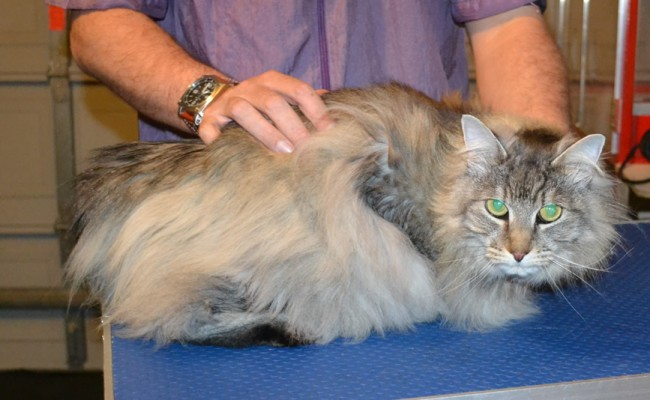 Boof is a Long Hair Moggy. He had his fur shaved down, nails clipped and ears cleaned. — at Kylies Cat Grooming Services.