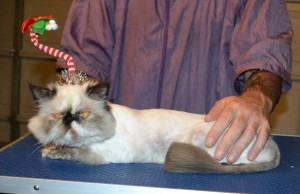 DimSim is a Persian. She had her fur shaved down, nails clipped and ears cleaned. — at Kylies Cat Grooming Services.