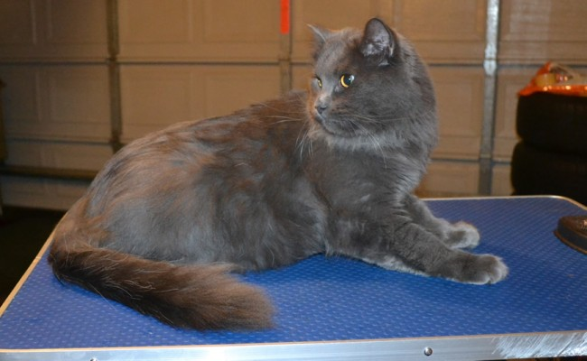 Meech is a Russin Blue x Ragdoll. He has his fur shaved down, nails clipped, ears cleaned and Advantage flea applicator. — at Kylies Cat Grooming Services.