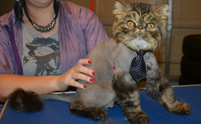 Tupelo is a Persian. . He had his matted fur shaved down, nails clipped, ears cleaned, Full Blue Softpaws and a wash n blow dry. — at Kylies Cat Grooming Services.