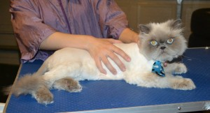 Bluey is a Himalayan. . He had his fur shaved down, nails clipped, ears cleaned and Blue Softpaw Nail Caps. — at Kylies Cat Grooming Services.