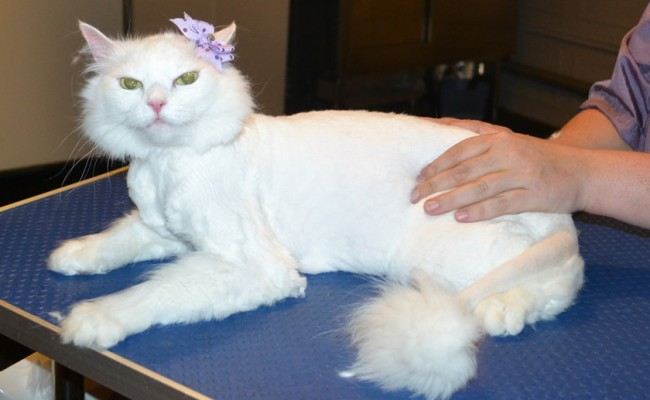 Little Cat is a Medium Hair Domestic. She had her Fur shaved down, nails clipped and ears cleaned. — at Kylies Cat Grooming Services.