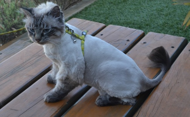 Arctic is a Ragdoll x. She had her fur shaved down, nails clipped and ears cleaned. — at Kylies Cat Grooming Services.