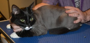 Axel is a Medium hair Domestic. He had his fur shaved down, nails clipped and ears cleaned. — at Kylies Cat Grooming Services.