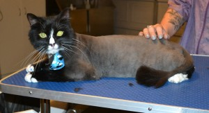 Muscles is a Long Hair Domestic. He had his fur shaved down, nails clipped, ears cleaned and Blue Softpaw nail caps put on. — at Kylies Cat Grooming Services.