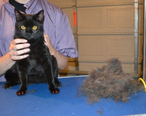 Cane is a British Short Hair x . He had his fur raked, nails clipped, ears cleaned and Red Softpaw nail caps. — at Kylies Cat Grooming Services.