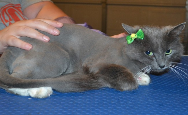 Sundae is a Medium Hair Domestic. She had her fur shaved down, nails clipped and ears cleaned. — at Kylies Cat Grooming Services.