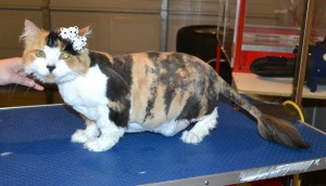 Foofy is a Long Hair Domestic. She has been shaven before hence why the hair is not as long but her 1st time with me. She had her fur shaved down, nails clipped, ears cleaned and a wash n blow dry. — at Kylies Cat Grooming Services.