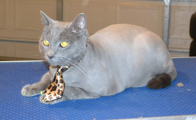 Spiro is a Russian Blue. He had his fur shaved down, nails clipped, ears leaned and wash n blow dry and Yellow and Gold Softpaw nail caps. — at Kylies Cat Grooming Services.