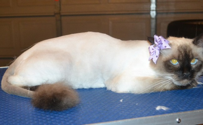 Jaze is a Ragdoll. She had her fur shaved down, nails clipped and ears cleaned. — at Kylies Cat Grooming Services.