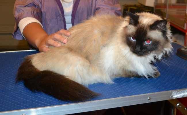 Bella is a Ragdoll. She had her matted fur shaved down, nails clipped, ears cleaned and Front Yellow softpaws put on. — at Kylies Cat Grooming Services.