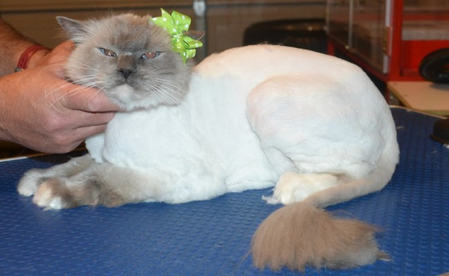 Cuddles is Ragdoll. She had her matted fur shaved down, nails clipped and ears cleaned. — at Kylies Cat Grooming Services.