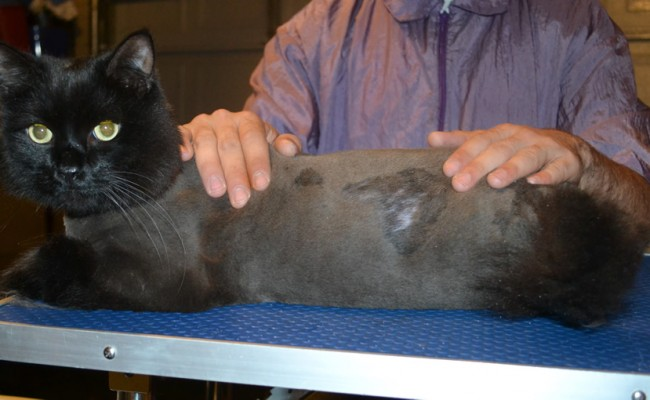 Gary is a Long Hair Domestic x British. He had his nails clipped, his matted fur shaved down and his ears cleaned.