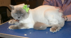 Lola is a Ragdoll. She had her fur shaved down, nails clipped, ears cleaned and a wash n blow dry. — at Kylies Cat Grooming Services.