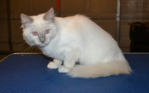 Jasper is a Ragdoll kitten. He had his nails clipped, ears cleaned and. Wash n blow dry. — at Kylies Cat Grooming Services.