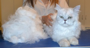 Hubert is a Chinchilla Persian. He had his fur raked, matting shaved out, nails clipped, ears and eyes cleaned and a wash n blow dry. — at Kylies Cat Grooming Services. Photo: Hubert is a Chinchilla Persian. He had his fur raked, matting shaved out, nails clipped, ears and eyes cleaned and a wash n blow dry.