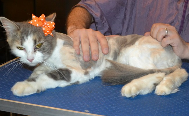 Delilah is a medium hair domestic. She had her nails clipped, her matted fur shaved down and her ears cleaned.
