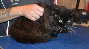 Mystery is a 19 yr old long hair Domestic. She had her matted fur shaved down, nails clipped and ears cleaned. — at Kylies Cat Grooming Services.
