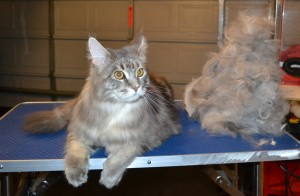 Bronson is a Mainecoon. He had his nails clipped, matted shave underneath, ears cleaned and his fur raked. — with Sandra Lewis and Johnny Lewis at Kylies Cat Grooming Services.