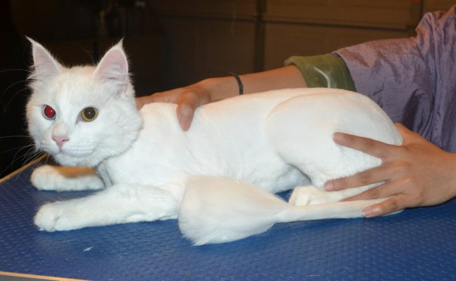 Milko is a Medium hair Domestic. He had his fur shaved down, nails clipped and ears cleaned. — at Kylies Cat Grooming Services.