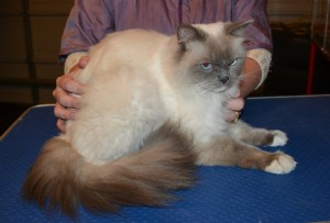 Arnold is a Ragdoll. He had his matted fur shaved down, nails clipped and ears cleaned and a wash. — at Kylies Cat Grooming Services.