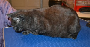 Solomon is a Short hair Domestic. He had his fur shaved down, nails clipped and ears cleaned. — at Kylies Cat Grooming Services