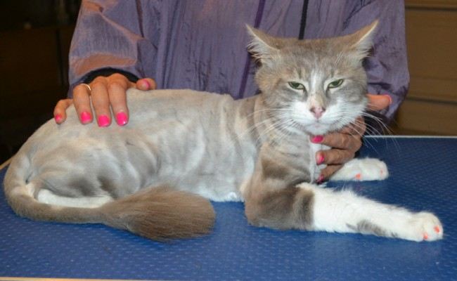 Jasper is a Short / Medium hair Domestic. He had his nails clipped, fur shaved down, a wash n blow dry, ears cleaned and a full set of pink Softpaw nail caps put on. — at Kylies Cat Grooming Services.
