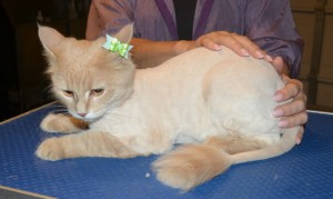 China is a Medium Hair Domestic. She had her fur shaved down, nails clipped, ears cleaned and a wash n blow dry. — at Kylies Cat Grooming Services.