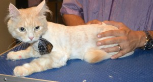 Pixel is a Siberian. He had his fur shaved down, nails clipped and ears cleaned. — at Kylies Cat Grooming Services.