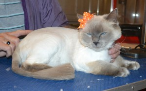 Katie is a Ragdoll. She had her fur shaved down, nails clipped and ears cleaned. — at Kylies Cat Grooming Services.