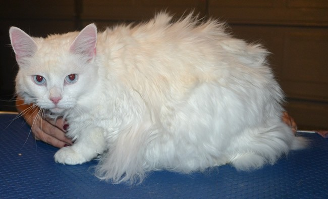 Molly is a Ragdoll x. She had her matted fur shaved down, nails clipped, ears cleaned and a wash n blow dry. — at Kylies Cat Grooming Services.