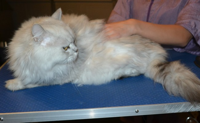 Nimo is a Chinchilla Persian. He had his fur shaved down ,nails clipped and ears cleaned. — at Kylies Cat Grooming Services.