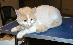 Snickers is a Medium Hair Domestic. He had his matted fur shaved down, nails clipped and ears cleaned. — at Kylies Cat Grooming Services.