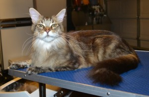 Bruno is a Mainecoon. He had his nail clipped, fur raked, ears cleaned and a wash n blow dry. — at Kylies Cat Grooming Services.