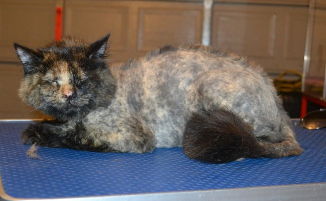 Furgie is a Medium Hair Domestic. She had her nails clipped, fur shaved down with a Mohawk and her ears cleaned. — at Kylies Cat Grooming Services.
