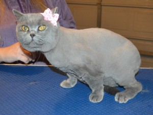 Shadow is a British Short hair. She had her nails clipped, fur shaved down and ears cleaned. — at Kylies Cat Grooming Services.